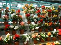 2019-05-18花と泉の公園ベゴニア館096