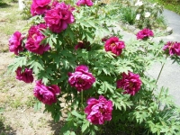 花と泉の公園・牡丹園098