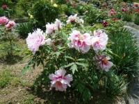 花と泉の公園・牡丹園099