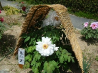 花と泉の公園・牡丹園100