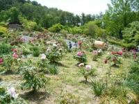 花と泉の公園・牡丹園102