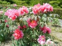 花と泉の公園・牡丹園104