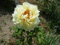 花と泉の公園・牡丹園105
