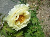 花と泉の公園・牡丹園106