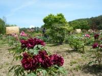 花と泉の公園・牡丹園107