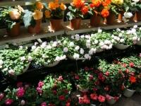 2019-05-18花と泉の公園ベゴニア館097