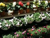 2019-05-18花と泉の公園ベゴニア館099