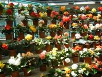 2019-05-18花と泉の公園ベゴニア館100