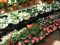 2019-05-18花と泉の公園ベゴニア館101
