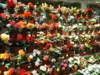 2019-05-18花と泉の公園ベゴニア館107