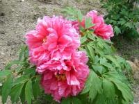 花と泉の公園・牡丹園109