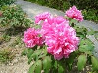 花と泉の公園・牡丹園110
