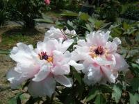 花と泉の公園・牡丹園111