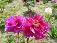 花と泉の公園・牡丹園112