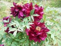 花と泉の公園・牡丹園114