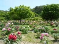 花と泉の公園・牡丹園115