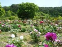 花と泉の公園・牡丹園116