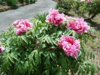花と泉の公園・牡丹園117