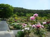 花と泉の公園・牡丹園118