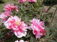 花と泉の公園・牡丹園119