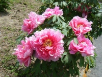 花と泉の公園・牡丹園120