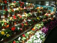 2019-05-18花と泉の公園ベゴニア館109