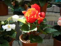 2019-05-18花と泉の公園ベゴニア館110