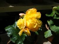 2019-05-18花と泉の公園ベゴニア館112