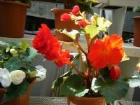 2019-05-18花と泉の公園ベゴニア館114