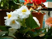 2019-05-18花と泉の公園ベゴニア館115