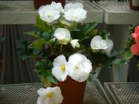 2019-05-18花と泉の公園ベゴニア館116