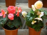 2019-05-18花と泉の公園ベゴニア館119