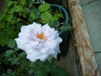 2019-06-23花巻温泉薔薇園009