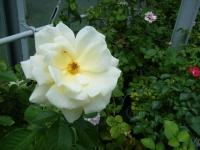 2019-06-23花巻温泉薔薇園013