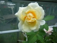 2019-06-23花巻温泉薔薇園014