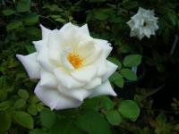 2019-06-23花巻温泉薔薇園015
