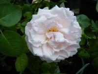 2019-06-23花巻温泉薔薇園027