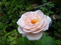 2019-06-23花巻温泉薔薇園028