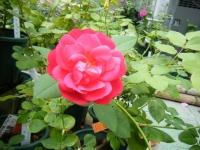 2019-06-23花巻温泉薔薇園033