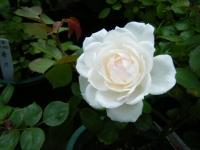 2019-06-23花巻温泉薔薇園034