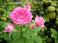 2019-06-23花巻温泉薔薇園037