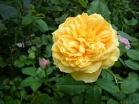 2019-06-23花巻温泉薔薇園038
