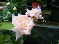 2019-06-23花巻温泉薔薇園039