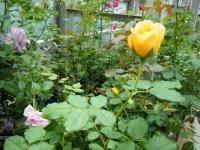 2019-06-23花巻温泉薔薇園040