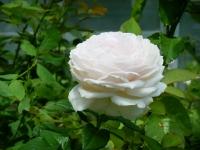 2019-06-23花巻温泉薔薇園043