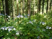 2019-07-13一関市舞川 紫陽花園005