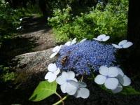 2019-07-13一関市舞川 紫陽花園010