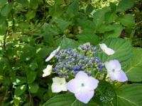 2019-07-13一関市舞川 紫陽花園012