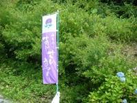 2019-07-13一関市舞川 紫陽花園000