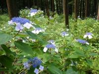 2019-07-13一関市舞川 紫陽花園013